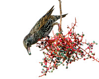 European Starling feeding on berries of Pistache Tree