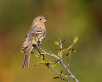 Yellow variant House Finch