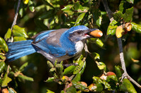 California Scrub-Jay, collecting acorns (formerly Western Scrub-Jay)