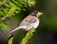 Dark-eyed Junco, with inesects to feed young