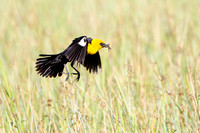 Yellow-headed Blackbird, male carrying inects to nest