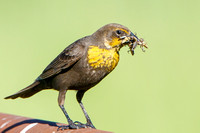 Yellow-headed Blackbird, female with insects to feed young