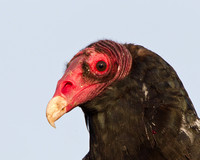 Close-up photo of Turkey Vulture