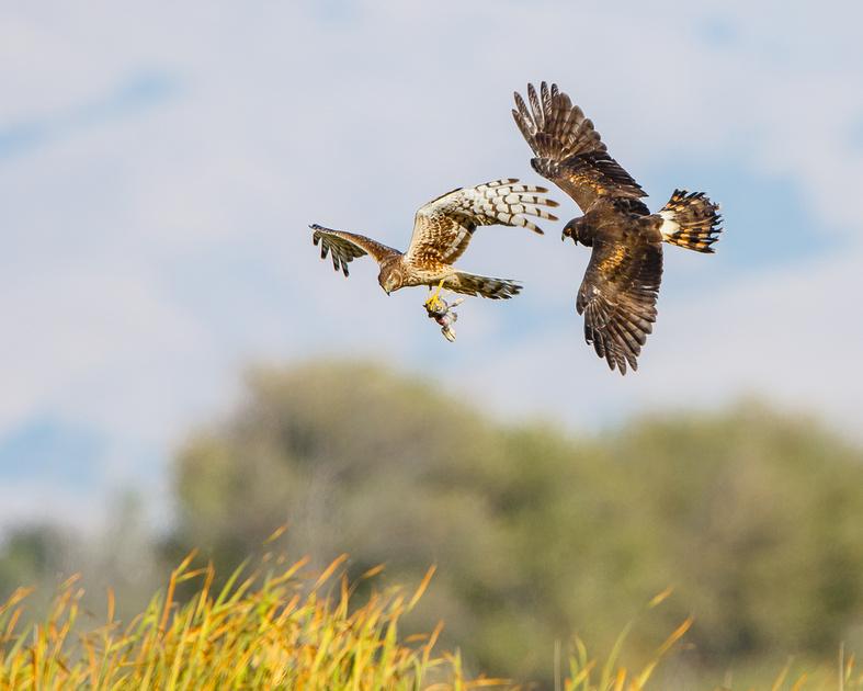 Northern Harrier food exchange; parent drops rabbit for fledgling to catch