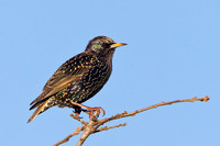 European Starling, winter plumage