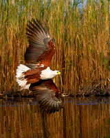 African Fish Eagle, banking as it approaches its prey (baited)