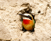 White-fronted Bee-eater, at nest