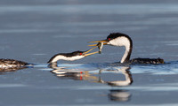 Western Grebe courtship: female grasping fish from male