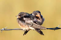 Cliff Swallows, juveniles keeping warm on a cold morning