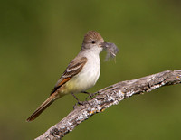 Ash-throated Flycatcher, collecting nest material