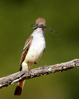 Ash-throated Flycatcher, with dragonfly