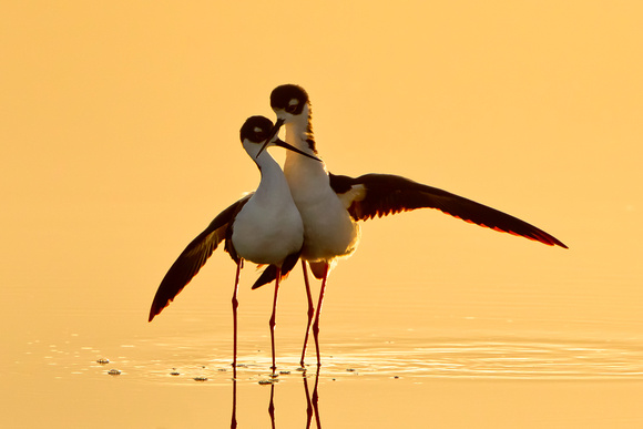 Black-necked Stilts, post-coital dance