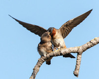 Cliff Swallows, adult feeding juvenile