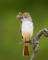 Ash-throated Flycatcher, with moth (genus Catocala)