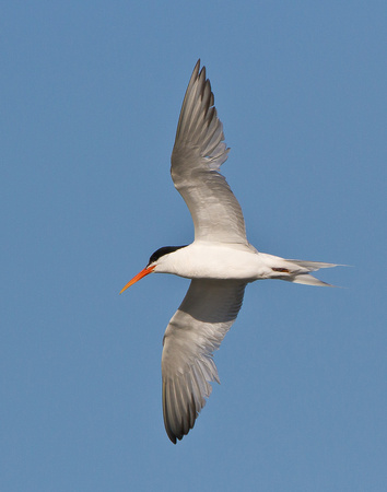 Elegant Tern in flight