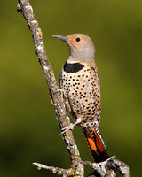 Northern Flicker, red-shafted female