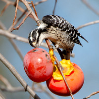 Nuttall's Woodpecker, feeding on persimmon