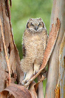Great Horned Owl, fledgling