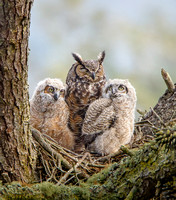 Great Horned Owls, family at nest