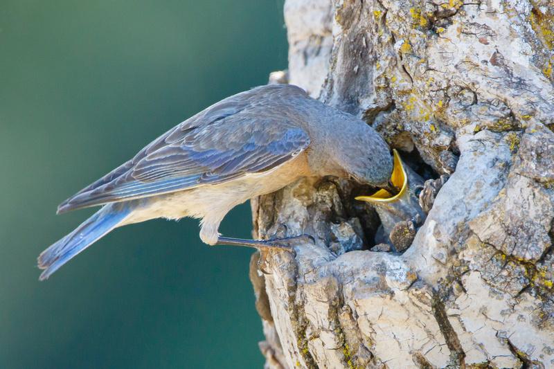 Western Bluebird, feeding nestling