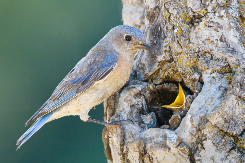 Western Bluebird, with begging nestling