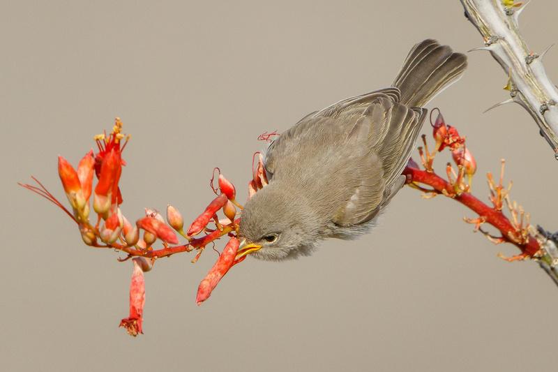 Verdin, fledgling feeding