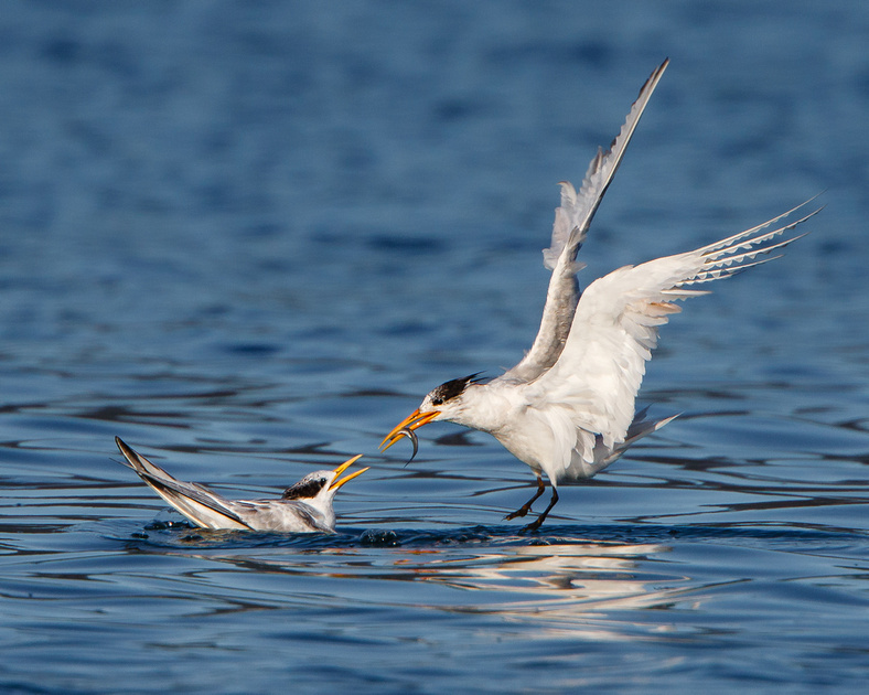 Elegant Tern, parent feeding young