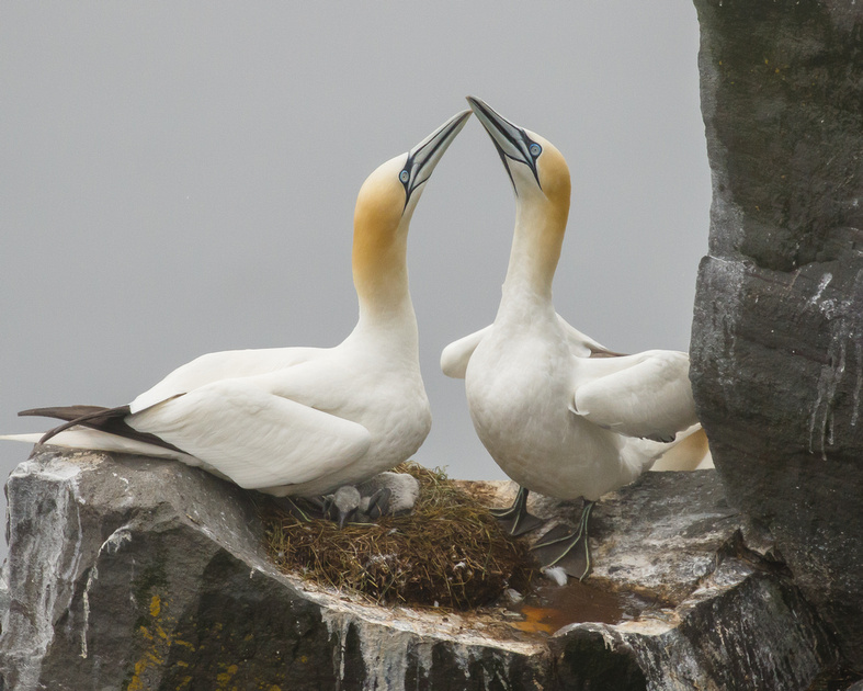 Northern Gannets, at nest with chick