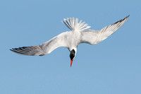 Caspian Tern, diving