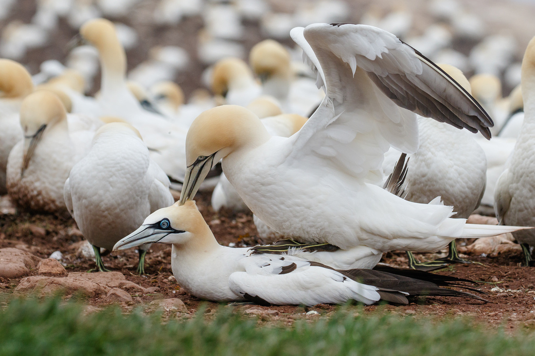 Northern Gannets, mating