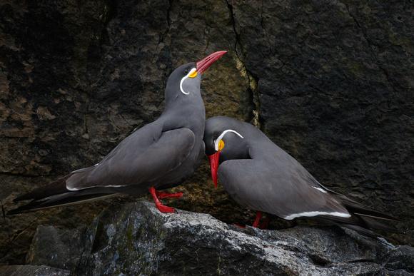 Inca Terns, courtship