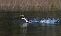 Western Grebe, courtship display