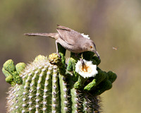 Curve-billed Thrasher atop Saguaro cactus, feeding on nectar from flower