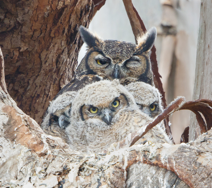 Great Horned Owl, mother with 3 owlets