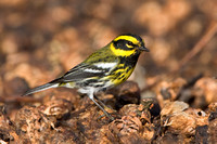 Townsend's Warbler, atop rotting Brussels sprouts