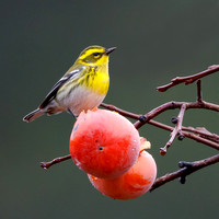 Townsend's Warbler, feeding on persimmons