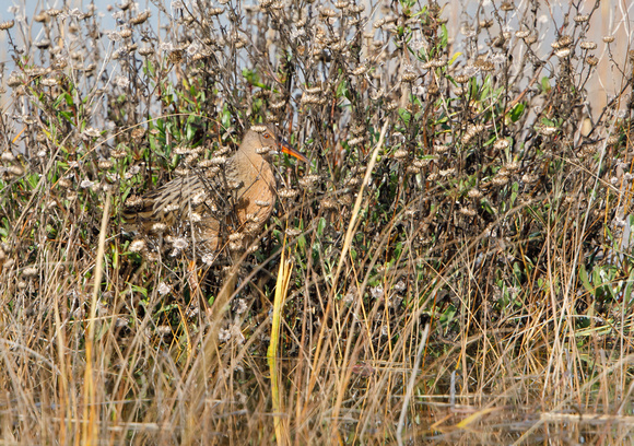 Ridgway's Rail (formerly Clapper Rail)
