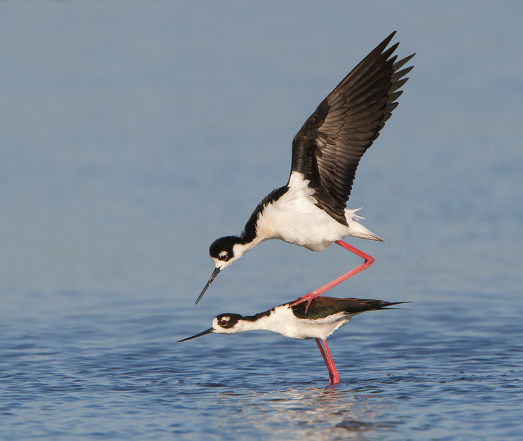Black-necked Stilts mating; the male hops atop the female