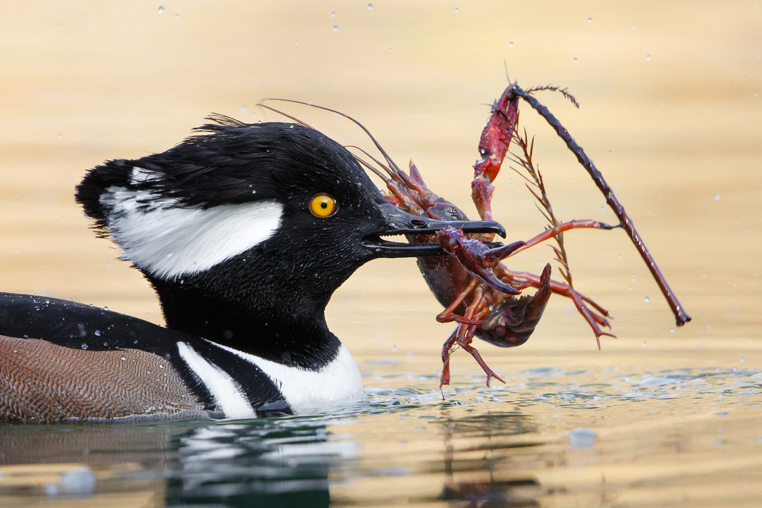 The crayfish is still grasping a twig, in a futile attempt to prevent being carried off.