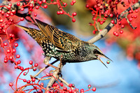 European Starling, feeding on berries of Chinese pistache tree