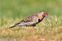 Northern Flicker  (male Yellow-shafted)
