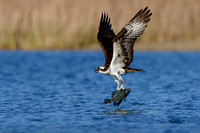 Osprey, with Black Crappie