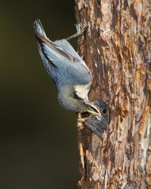 Pygmy Nuthatch, feeding Mountain Bluebird chick