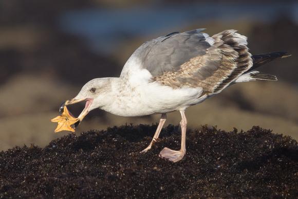 Western Gull with sea star