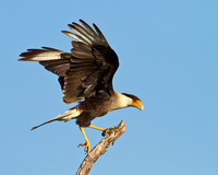 Crested Caracara with wings upraised