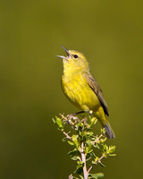 Orange-crowned Warbler singing