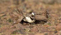 Greater Sage Grouse, sparing