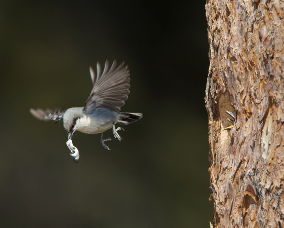 Pygmy Nuthatch, removing fecal sac from Mountain Bluebird nest
