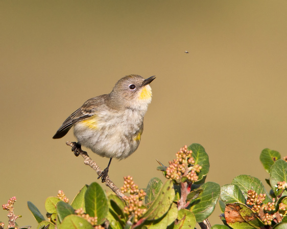 Yellow-rumped Warbler, about to snatch an insect
