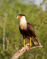 Crested Caracara, with full crop